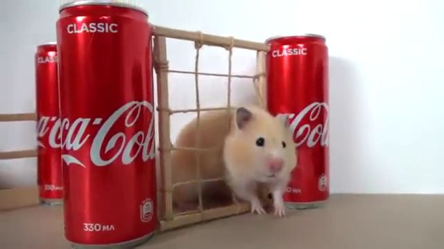 Hamster takes on Obstacle Course