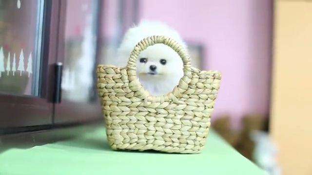 White Fluffy Cute Little Pomeranian