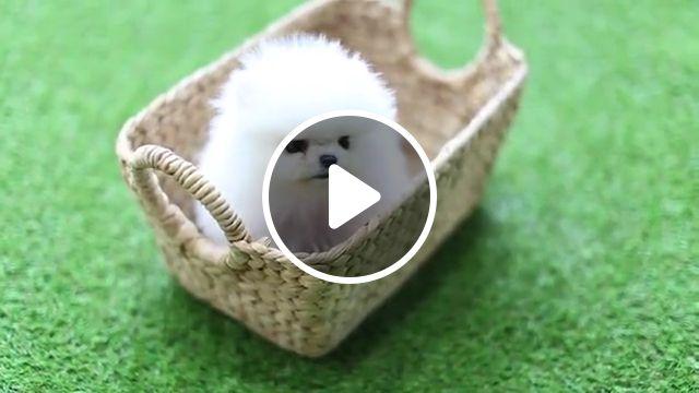 White Fluffy Cute Little Pomeranian, teacup dogs, dog breeds, teacup puppies, fluffy puppy, pomeranian dog, teacup pomeranians, names, spitz, teacup yorkies, pomeranian puppies, cute