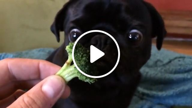 Cute Pug Eating Broccoli, gfycat, gif, watch cute, video gif, pug puppies, bulldog, views, pug dog, animal, funny gif, slucy lawless