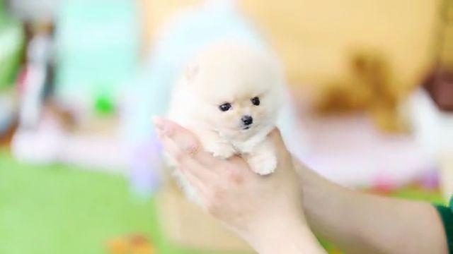 Cute Cream Pomeranian Teddy Bear ever