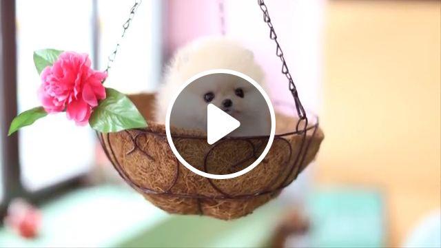 Cute Cream Pomeranian Teddy Bear ever, pomeranian dog, pom, spitz, pomeranian puppy, teacup puppies, dogbear dog breeds, bear cut, teacup pomeranians