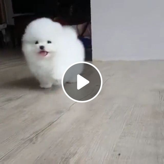 White Pomeranian Puppy, teacup, cute, fluffy, tiny, pomeranian mix, blue eye white, ice white, pure white, baby, snow white, mini newly born, beautiful white
