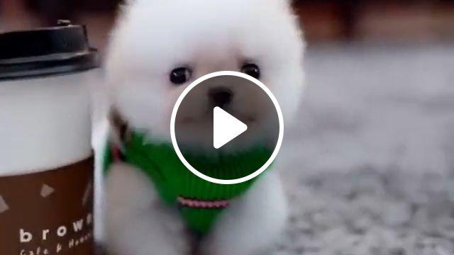 Pomeranian dog breed information, teacup dog, pomeranian, white pomeranian, cutest dogs, pet, exhibits intelligence expression, inquisitive by nature, pomeranian compact, short backed, active toy dog, short dense undercoat, heavily plumed tail, pomeranian cocky