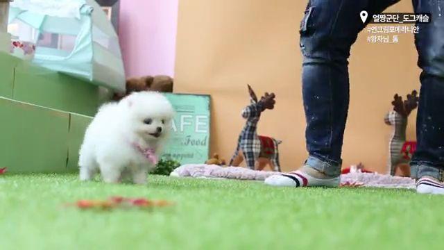 Cute Micro Teacup Puppy white pomeranian