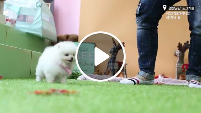 Cute Micro Teacup Puppy white pomeranian, dogs, pom, pomeranian dog, shih tzu, cute dogs, teacup yorkie, dog breeds, teacup dogs, fluffy puppies, poodle puppies