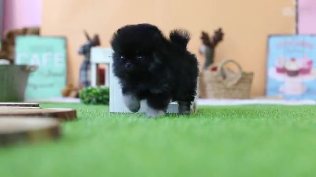Cute Pomeranian Teddy Bear Teacup Puppy