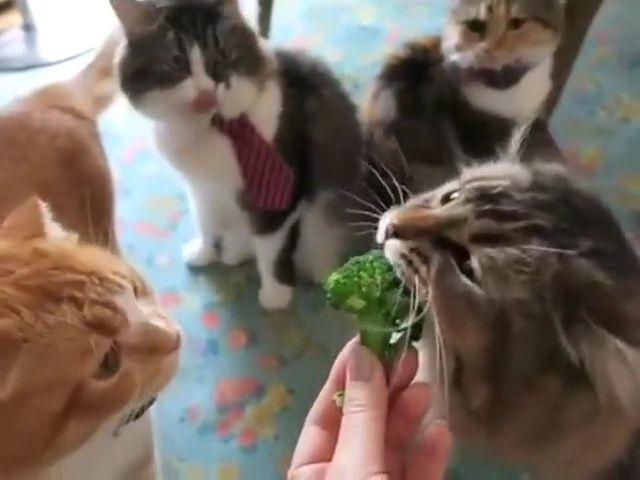 Cat eat broccoli