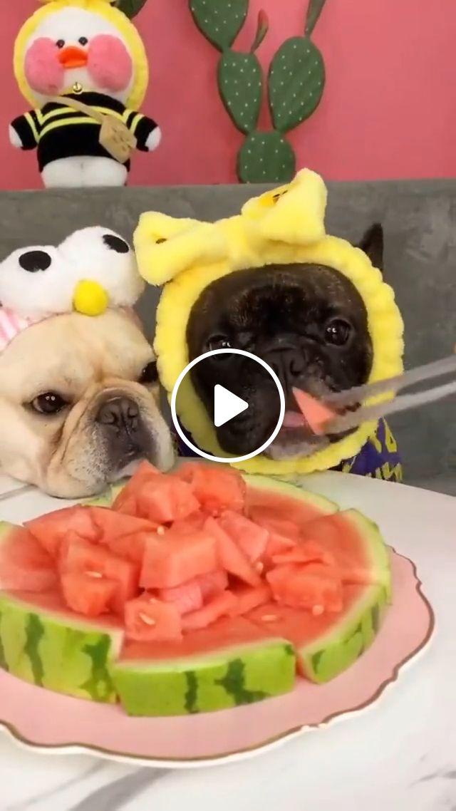 Dog Watermelon Eating, cute dog, dog eating, watermelon, funny dog gif, puppy, cute pupy, animal, dog eat