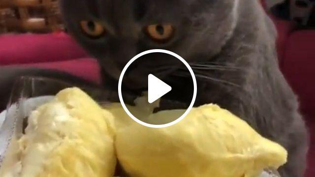 Cat Eating Durian Fruits, cute cat, black cat, cat eat, cat durian, funny cat gif, animal, kitten