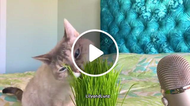 Cute Cat eat grass, green, yard, eating plant, nature, outdoor cat, garden, wild, herb