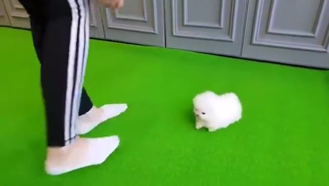 Micro White Pomeranian Puppy