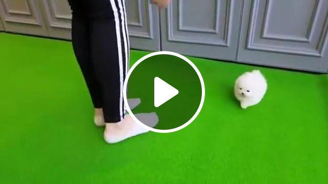 Micro White Pomeranian Puppy, toy, pom, tea cup, pomeranian teacup puppies, pomeranian dog breeds, teddy bear, micro teacup, pet, orange sable