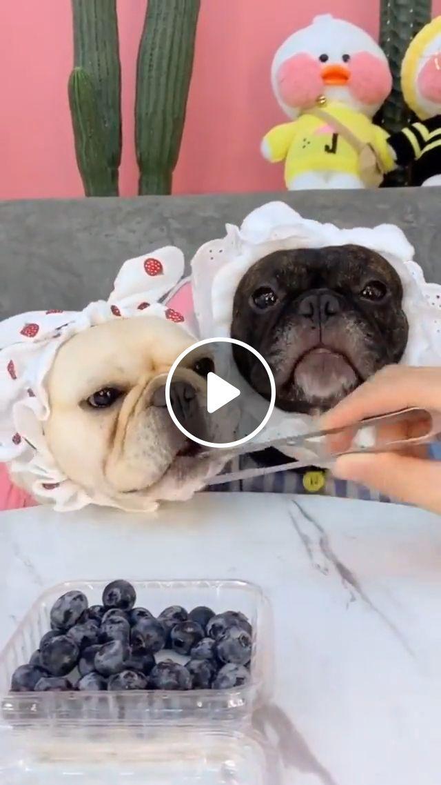 Dog eating Blueberry, dog eating, dog blueberry, french bulldog, cute dog, cute puppy, funny dog, animal