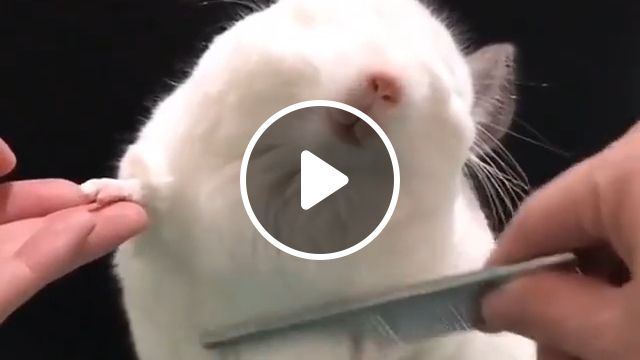 Grooming a Hamster, groom himself, probably seen, boing boing, cage, dwarf hamster, long haired, pet, trimming fur, cute hamster, funny hamster gif, animal