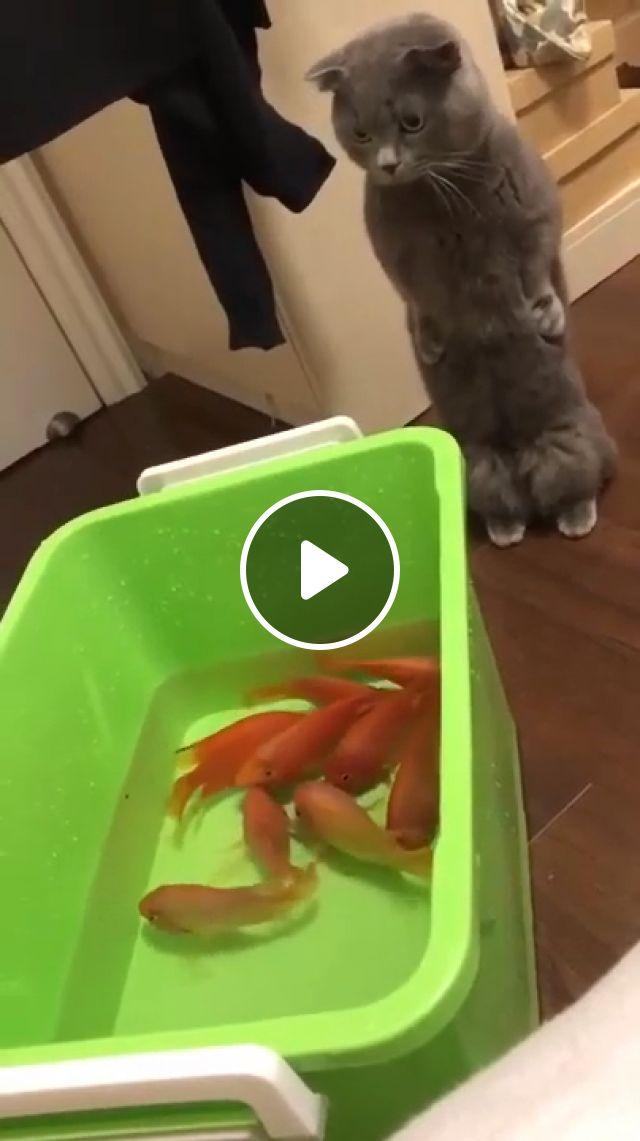 Cat with fish, standing cat, fish swimming, funny cat gif, looking cat, cute cat, surprised cat, animal