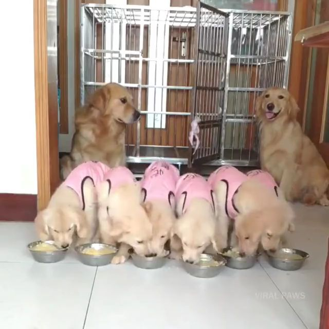 Cute baby golden retriever eating