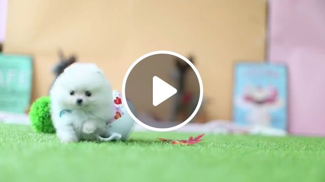 Cute Teacup Puppy Pomeranian Puppy, tiny teacup, white pomeranian, micro teacup, tiny puppies, cute puppies, pomeranian facts, shih tzu, teacup yorkie, baby puppies, teacup cute, dog breeds, teddy bear, fluffy puppies, pomeranian haircut