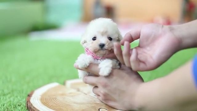 Adorable Cream Poodle