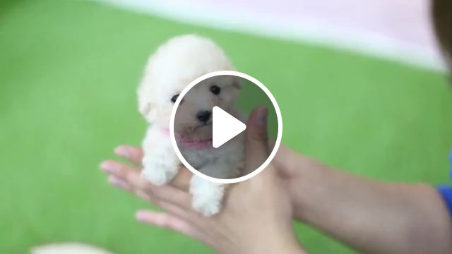 Adorable Cream Poodle, toy, teacup, cream colored poodle puppy, dog, cream miniature poodle, toy poodle dogrolly teacup puppies, standard poodle, poodle haircut, dog breed, teacup poodle, cute dogs, teddy bear