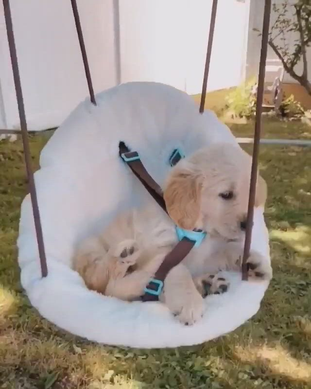 Leisure time - Video & GIFs | cute baby animals,fluffy animals,adorable cute animals,cute puppies,cute dogs,dogs and puppies,dogs golden retriever,retriever dog,yellow lab puppies,dog id tags