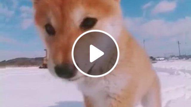 Sooo cute, cute funny dogs, cute dogs and puppies, cute animals, chien shiba inu, hachiko, shiba puppy, dog id tags, cute animal videos, beautiful dogs, cute baby animals