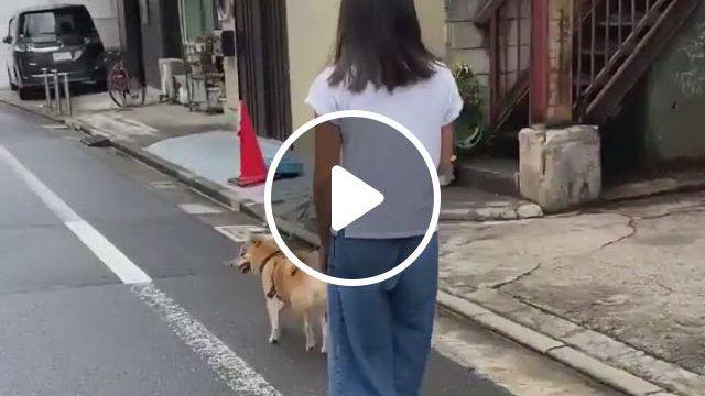Walk The Dog - Video & GIFs | shiba puppy, shiba inu, adorable dogs, cute puppies, gifts for pet lovers, dog lovers, wrinkly dog, 3d dog, dog id tags