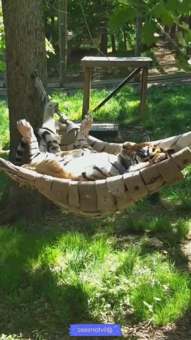 Relax tiger - Video & GIFs | animals wild,pet tiger,nature animals,indoor swing,indoor hammock,indoor outdoor,hanging swing chair,hammock swing chair,baby animals,cute animals