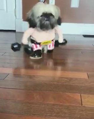 Shih Tzu Brasil - Video & GIFs   animais de estimacao engracados,animais de estimacao,shih tzu,no sew curtains,dog items,eye makeup,cute animals,puppies,memes,funny