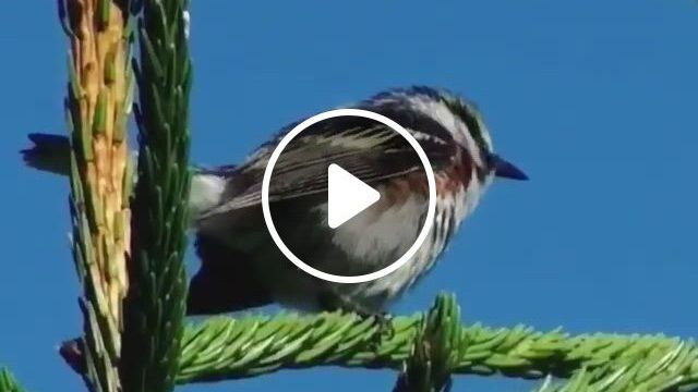 Singing His Little Heart Out - Video & GIFs | nature birds, beautiful birds, beautiful landscapes, cute funny animals, cute baby animals, best pet birds, bird , sounds of birds, tour around the world
