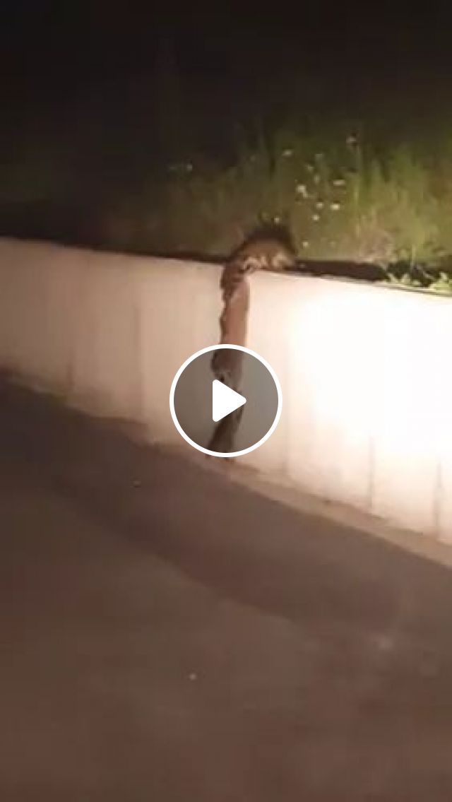 Mission Impossible: High wall, funny raccoon, funny animals, wall, Mission Impossible