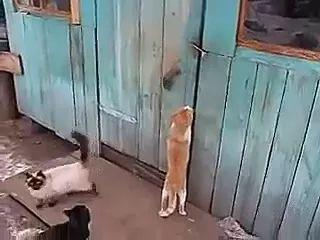 Clever cat opens door for friend