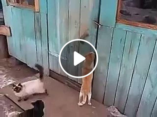 Clever cat opens door for friend, Birman Cat, Smart Cat, Funny Cat, animals
