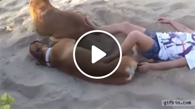 Don't tease a smart dog, haha, Boxer Dog, Funny Dog, Troll, Beach, Sand, smart dog, animals