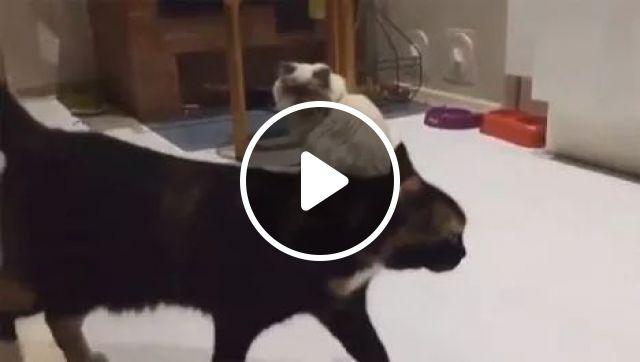 Kung Fu Cat, Birman Cat, animals, Funny Cat, Fight, Kung fu Cat