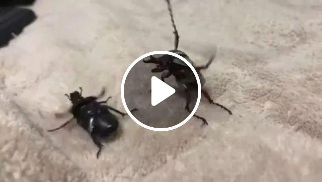 Beetle MMA, MMA, Funny, fight, beetle, sport