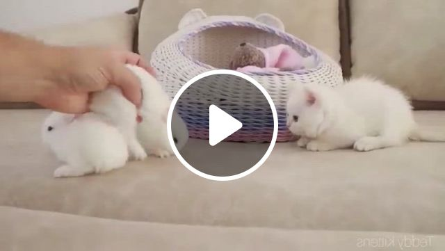 Cute Bunny Meet With Cute Kitty - Video & GIFs   cute baby animals, cute kitten gif, cute little animals, kittens cutest, cats and kittens, cute cats, cute animal memes, funny animals, gato munchkin, cute bunny