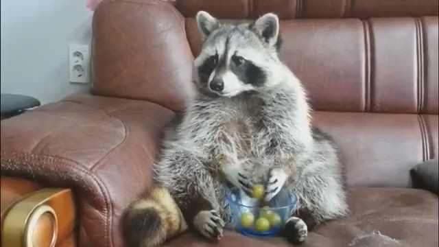 Grapes fly away raccoon so anxious to rub his hands
