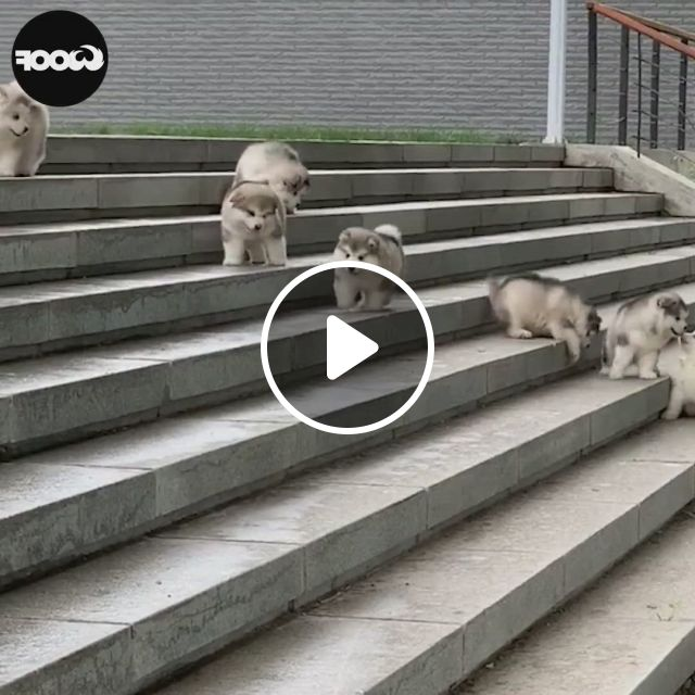Hahaha. A Dog Do Not Know How To Run Down Steps - Video & GIFs   cute funny animals, cute animals, funny animals, funny dog memes, funny animal memes, funny animal videos, cute baby animals, funny dogs, animals and pets, baby dogs, pet dogs