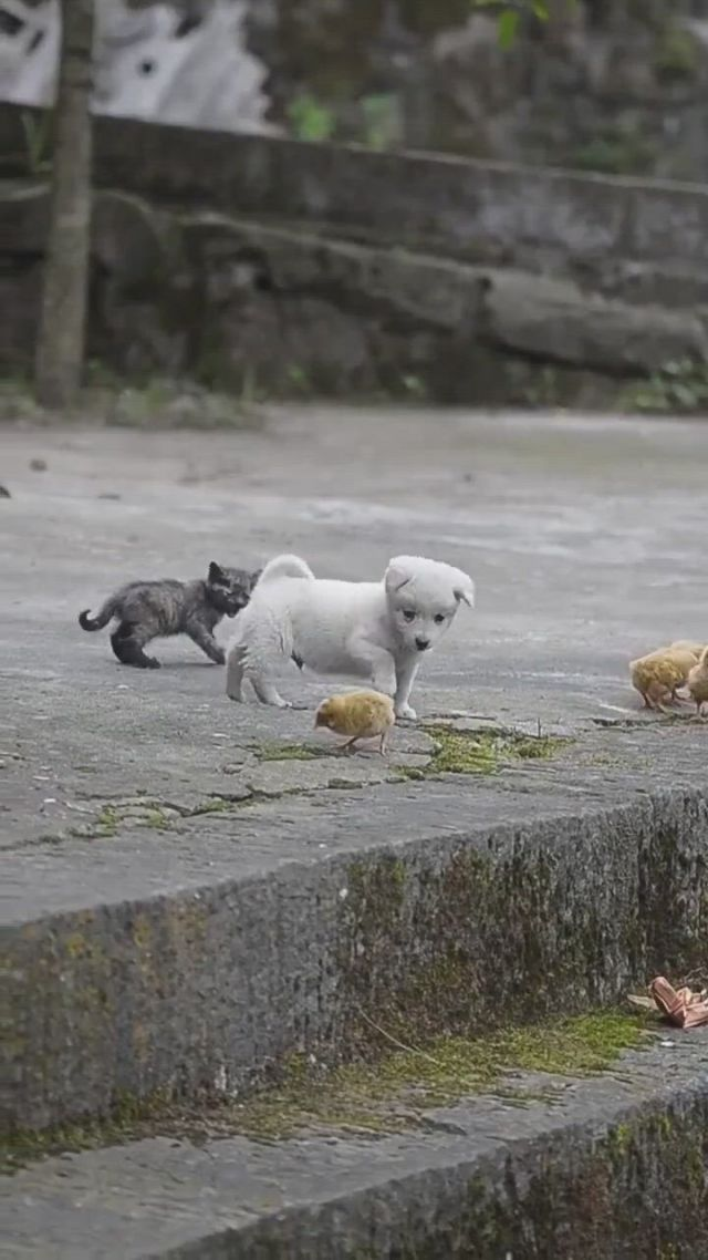 Puppy play with chick
