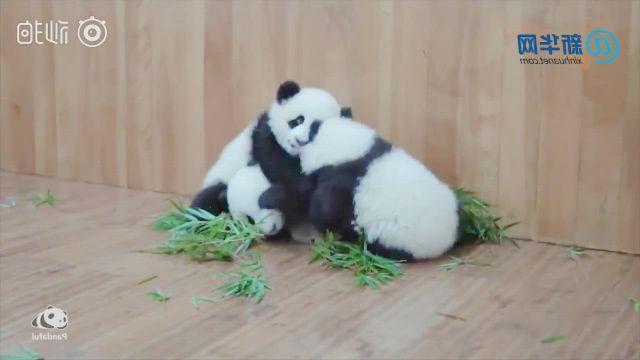 Three pandas fight together