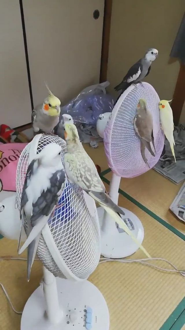 Too hot. birds rest on the fan