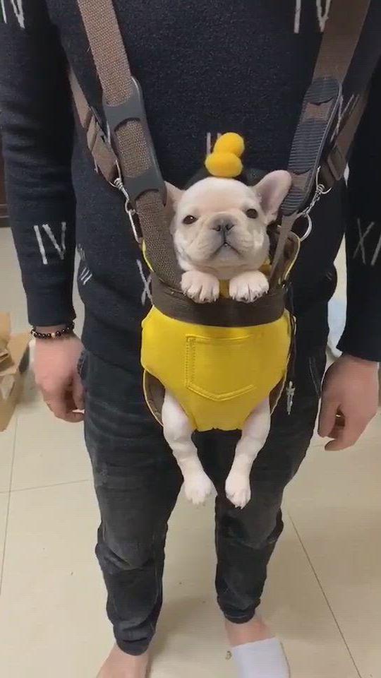 Cute French Bulldog Puppy
