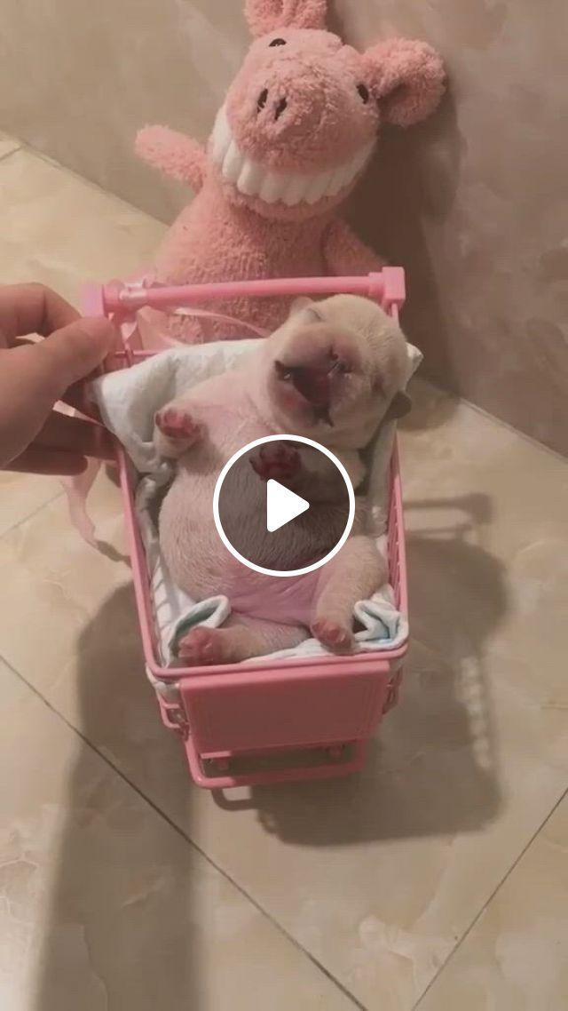 Cute Puppies - Video & GIFs   cute bulldog puppies, cute little puppies, cute funny puppy videos, cute bulldogs, cute dogs and puppies, funny puppies, french bulldogs, cute animal videos, cute puppy gif