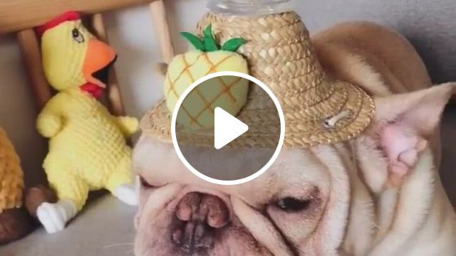 Cutest Dog Straw Hats - Video & GIFs | bulldog clothes, dog and owner costumes, pet halloween costumes, small dog costumes, funny costumes, dog halloween, cute dogs and puppies, baby dogs, doggies, cute funny animals