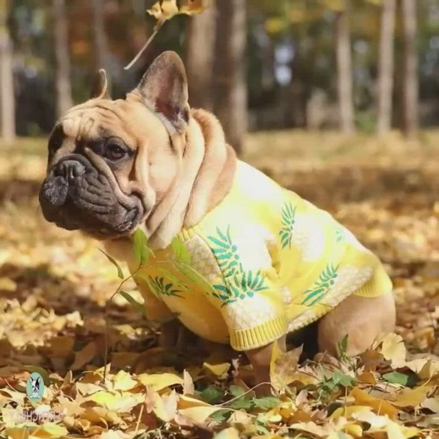 French bulldog jumpers for dogs - Video & GIFs | french bulldog sweater,bulldog clothes,bulldog,french bulldog clothes,french bulldog blue,toy bulldog,dog jumpers,dog raincoat,dog sweaters,medium dogs,dogs