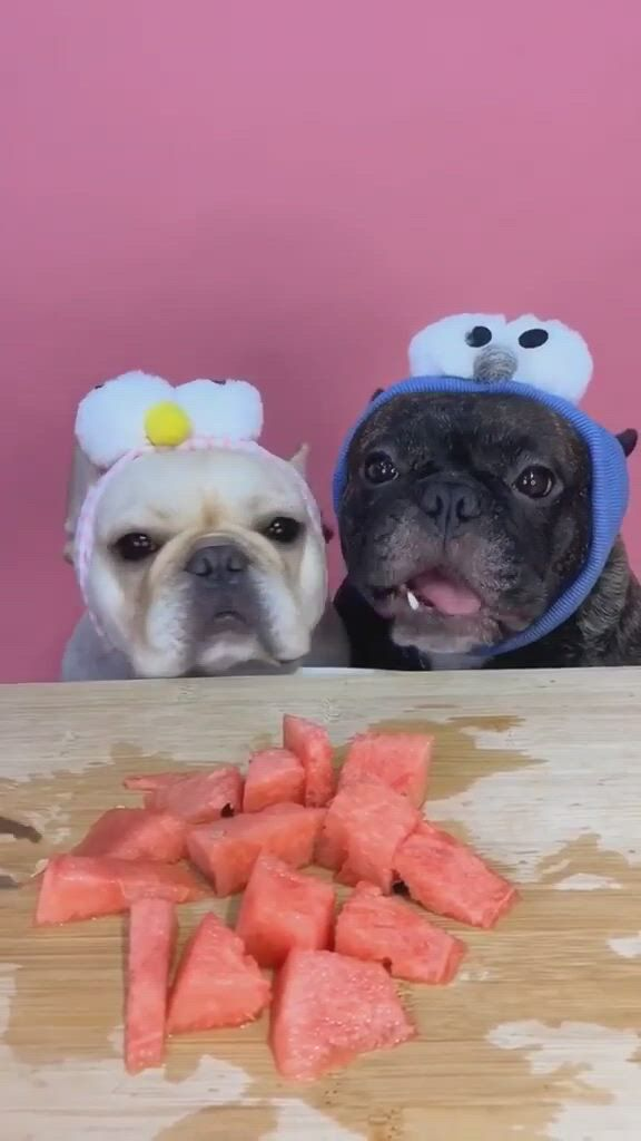 Frenchies VS Watermelon