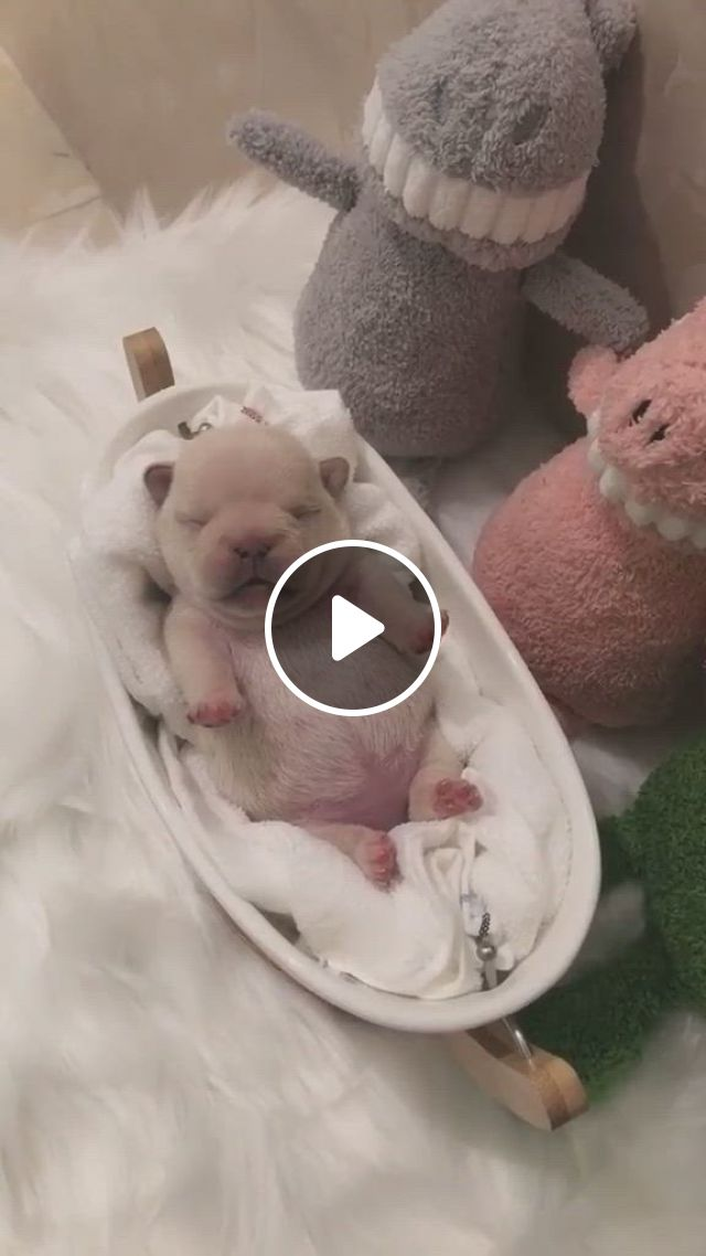 Sleeping Puppy French Bulldogs - Video & GIFs | sleeping puppies, bulldog puppies funny, cute bulldog puppies, cute bulldogs, funny puppies, cute dogs, cute babies, cute funny puppy videos, cute baby animals, funny animals