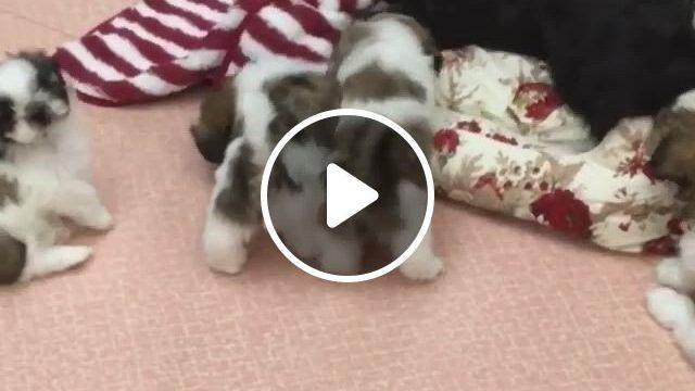 Naughty Cute Furry Friends - Video & GIFs | shih tzu puppy, cute dogs, puppies, perro shih tzu, shih tzu hund, shih tzus, super cute puppies, cute baby dogs, cute dogs and puppies, doggies, cute little animals