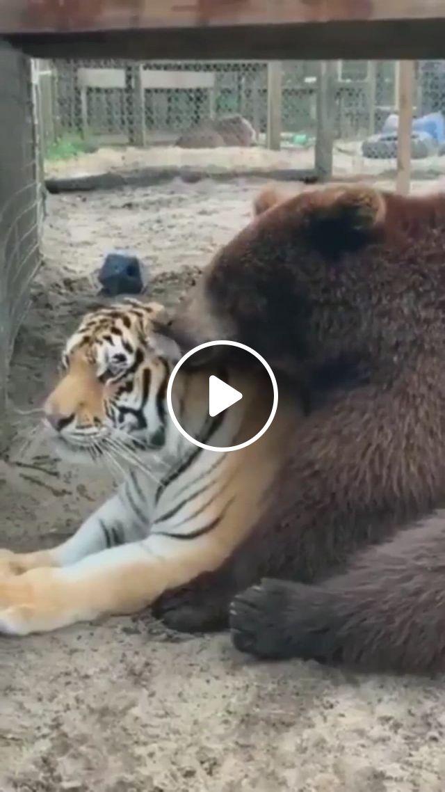 Big Cuddle Buddies - Video & GIFs | funny animal , cute animals, animals beautiful, funny animals, odd couples, cuddle buddy, bungou stray dogs, big cats, polar bear, animal kingdom